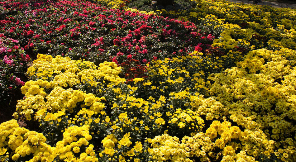 Full frame of yellow flowering plants