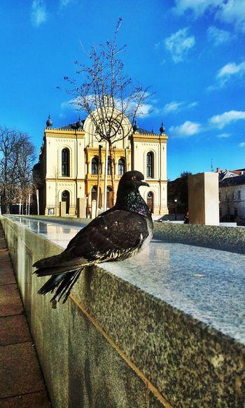Animal Bird Hungary Kossuthter Outdoors Pigeon Pigeon Bird  Pigeonslife Pécs