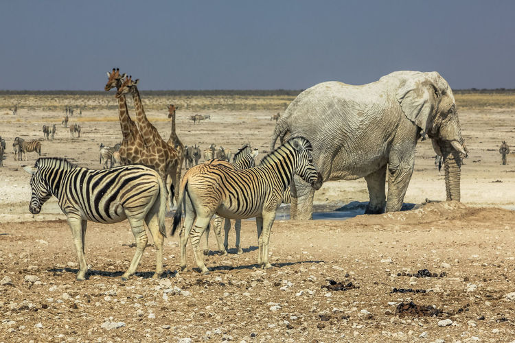 Elephants And Zebras On Landscape Against Clear Sky