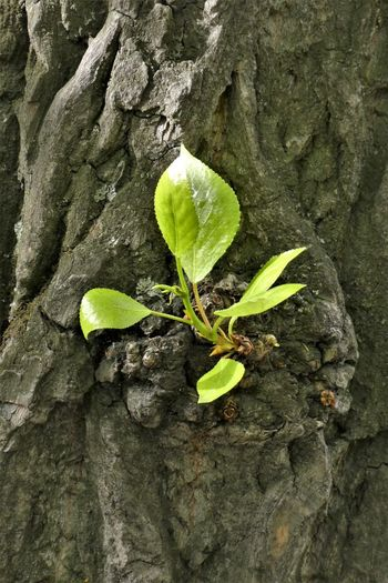 Plant Leaf Plant Part Growth Tree Trunk Trunk Nature Close-up Green Color Tree No People Textured  Day Outdoors Beauty In Nature Rough Vulnerability  Beginnings Fragility Plant Stem Bark