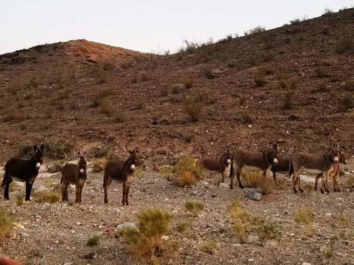 You looking at me? Donky Mule Nevada Mining Mining Heritage Desert Arid Climate Sky Grazing Group Of Animals