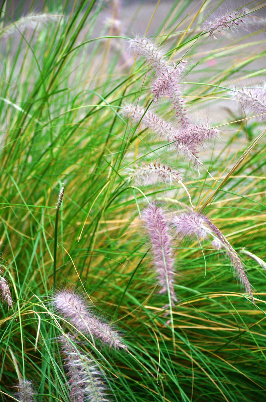 growth, nature, plant, green color, grass, beauty in nature, no people, day, close-up, outdoors, focus on foreground, field, fragility, freshness, flower