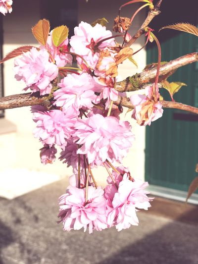 Cherry blossom Cherry Blossom Cherry Blossoms Flowering Plant Flower Plant Freshness Fragility Vulnerability  Beauty In Nature Pink Color Nature Close-up Blossom Growth No People Petal Day Branch Tree Outdoors Flower Head
