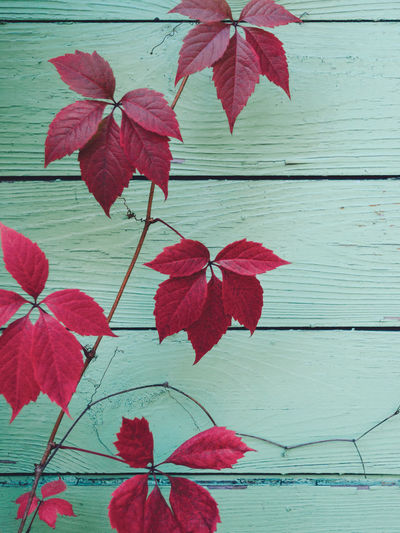 Red leaves on a green wall Colors Green Paint Wall Abstract Close-up Day Fragility Grape Leaf Leaves No People Outdoors Plant Purple Red Texture The Week On EyeEm EyeEmNewHere