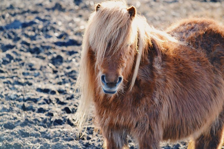 Cute pony Domestic Animals Horse Animal Themes Livestock Animal Hair Mammal Outdoors One Animal Day Brown Winter Standing No People Cold Temperature Nature Miniature Pony Farm Farm Life Animal