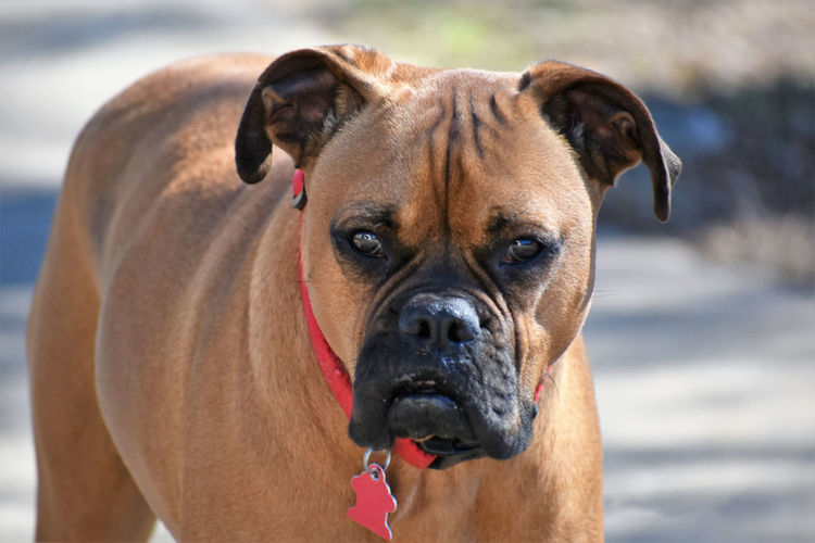 Boxer breed dog portrait Animal Themes Boxer Breed Close-up Day Dog Dogs Domestic Animals Focus On Foreground Looking At Camera Mammal Nature No People One Animal Outdoors Pets Portrait
