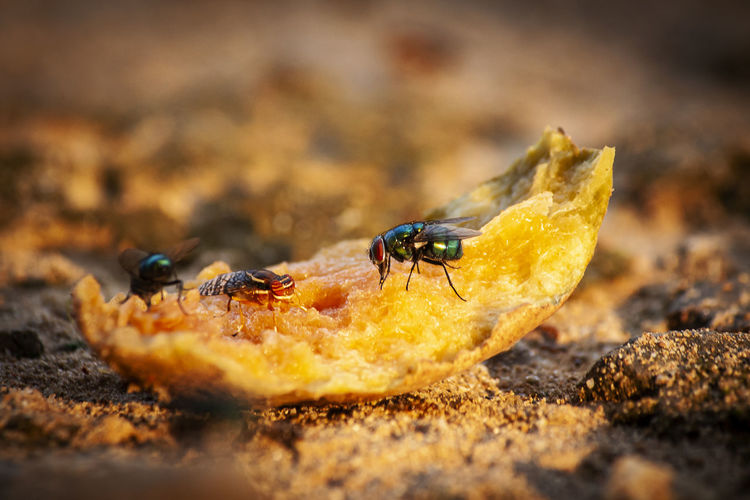 Close-up of flies on fruit