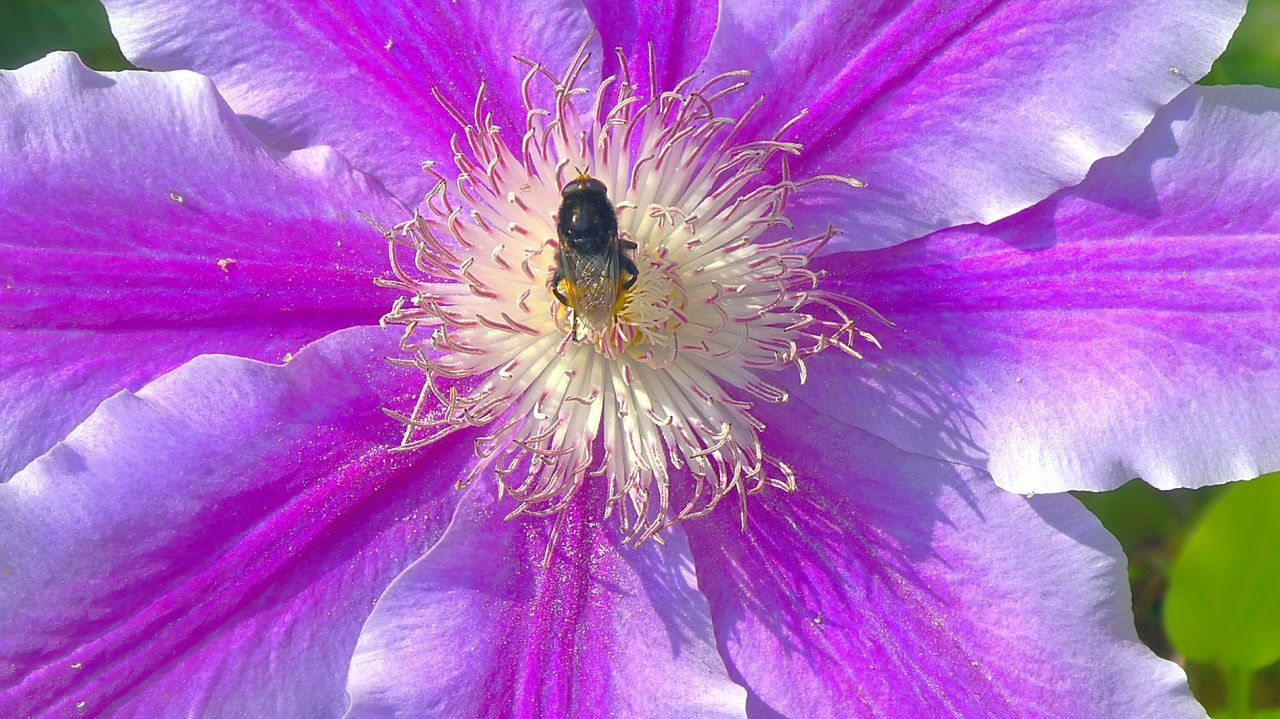 flower, flowering plant, fragility, vulnerability, freshness, petal, beauty in nature, plant, growth, flower head, close-up, inflorescence, pollen, insect, invertebrate, nature, purple, animals in the wild, animal, no people, pollination, outdoors, springtime