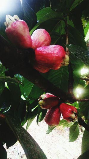 janbolo fruta