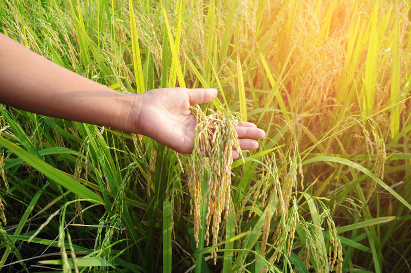 Cropped Image Of Man Holding Cereal Plant