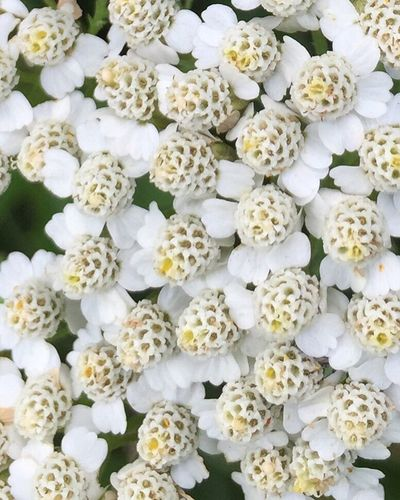 Flowers Nature Summer Prettyflowers Lacey Yarrow