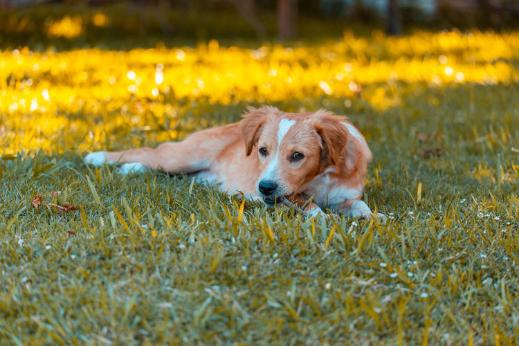Dog relaxing on field