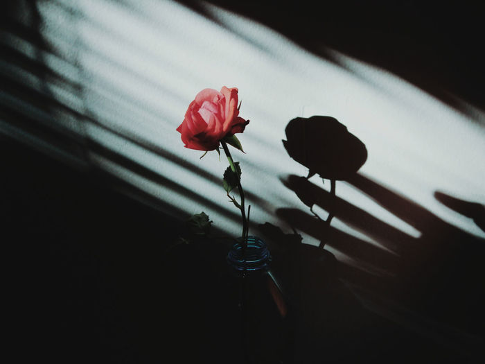 Sunlight Shadowplay Flower Head Flower Red Rose - Flower Petal Pedal Close-up Plant Shadow Capture Tomorrow