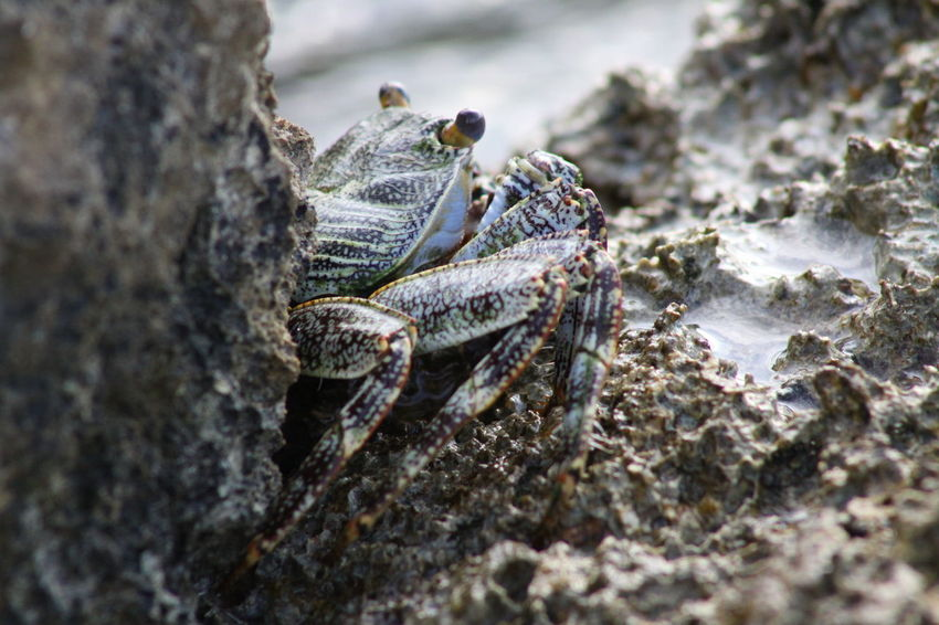 Lay on the sand, in front of a crabs hole, waiting before it comes out. Pleocyemata Brachyura Caribbean Sea Crab Crustacea Crustacean Euarthropoda Animal Animal Themes Animalia Beach Caribbean Close Up Close Up Nature Close Up Photography Close-up Closeup Day Decapoda Malacostraca Nature No People Outdoors Sea