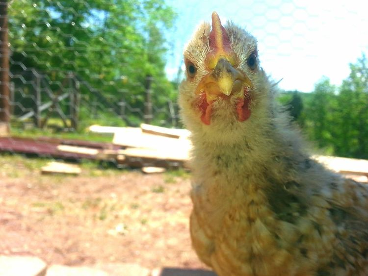 Close-up Alertness Chicken Love Roscoe Baby Roo Galaxy Note 5 Farm Chickens Pet Photography  Phone Photography No People One Animal Pets Pet Photography