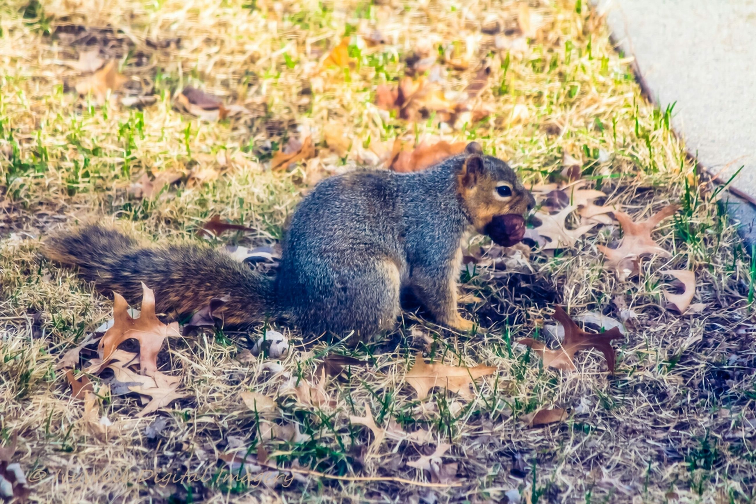 animal themes, animals in the wild, one animal, wildlife, squirrel, side view, eating, feeding, mammal, full length, zoology, alertness, tail, field, looking at camera, day, focus on foreground, outdoors, looking, no people