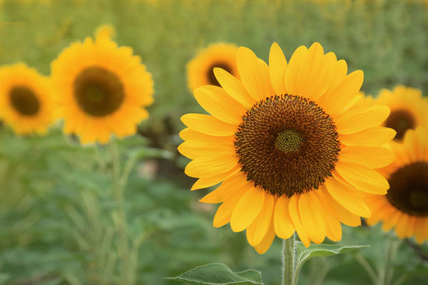 Sunflower blooming in the field. Sunflower oil improves skin health and promote cell regeneration Bright Country Field Seed Sunlight Blooming Blossom Cell Culture Field Floral Flower Garden Growth Health Landscape Leaf Nature Oil Organic Plant Regeneration Skin Sunflower Yellow