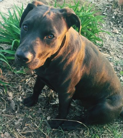 Puppy Love Pitbull Coco Who Me? Love You Mom Pet Canine Companion Best Friends Domestic Animal Dog Canine Outside