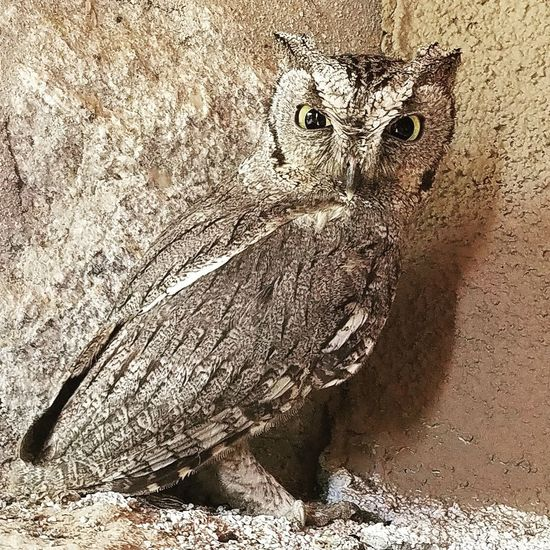 Tucson Screech Owl Desert Life Up Close The Great Outdoors - 2017 EyeEm Awards