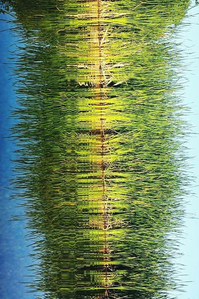 Lakeside Cedar Lake Wisconsin Lake Summer2015 Reflection_collection Reflected Glory Reflections In The Water Reflections And Water Cattails Water Reflections Living On The Lake Green And Blue Reflection Optical Illusions