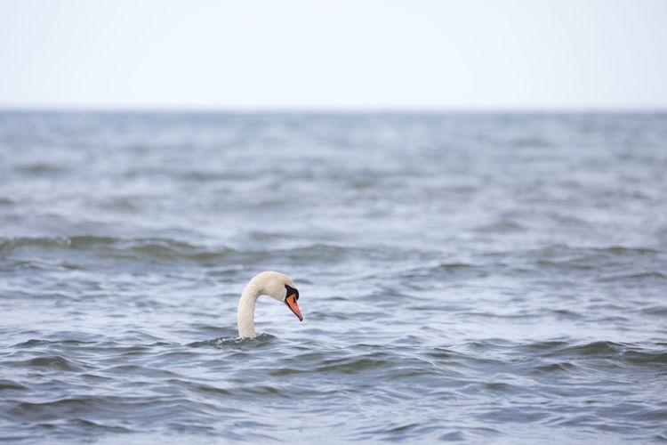 Swan in sea against sky
