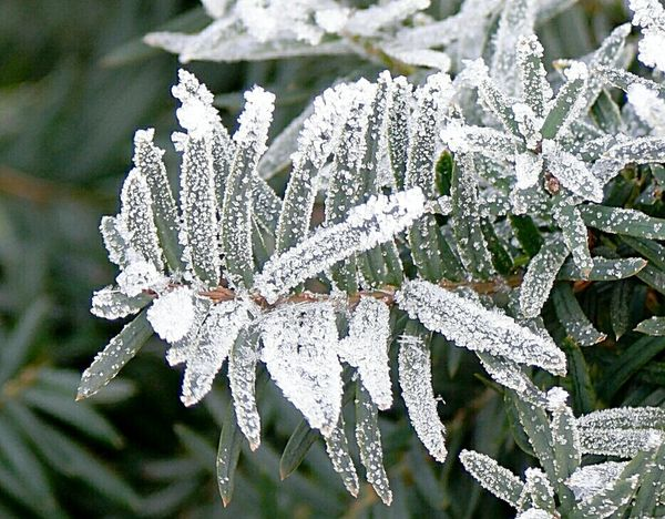 Snow Covered Branch Macro Beauty Nature_perfection Winter 2016 January Showcase: January Nature Photography Snow Covered Cold Winter ❄⛄ Nature_ Collection  Frosty