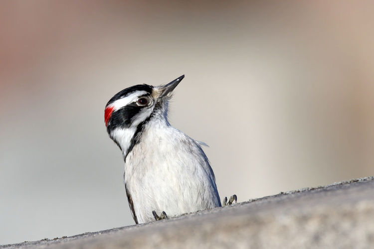 Downy Woodpecker Animal Themes Animal Wildlife Animals In The Wild Beauty In Nature Bird Close-up Cold Temperature Day EyeEm Nature Lover Male Nature No People One Animal Outdoors Perching Songbird  Woodpecker