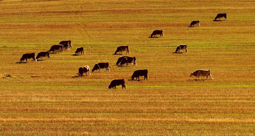 Autumn Autumn Field Herd Of Cows No People Outdoors
