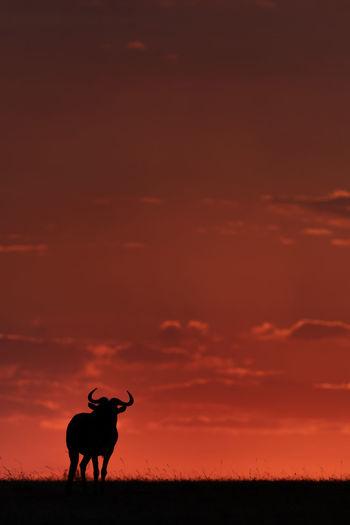 Silhouette wildebeest standing on field against orange sky