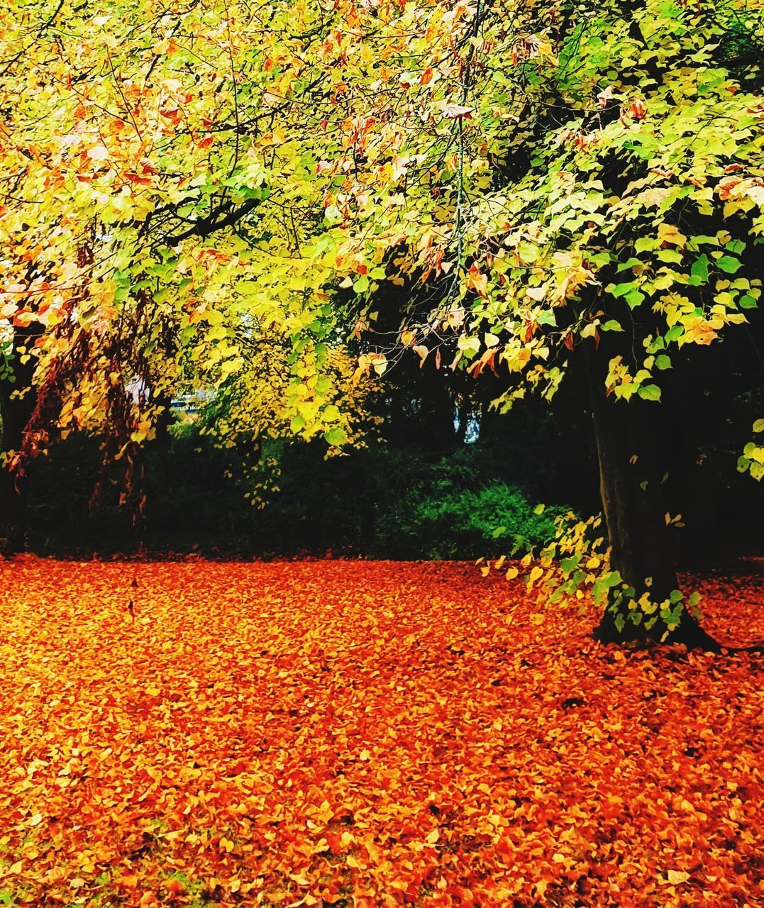 autumn, change, tree, leaf, plant part, plant, orange color, beauty in nature, nature, growth, land, park, tranquility, falling, yellow, day, outdoors, field, tranquil scene, scenics - nature, no people, leaves, fall, maple leaf, autumn collection, natural condition