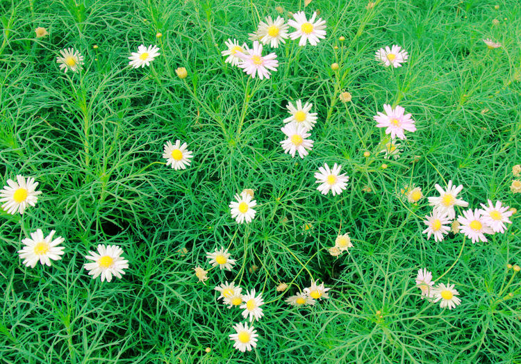 Flower Flowering Plant Plant Fragility Vulnerability  Freshness Green Color Beauty In Nature Growth Flower Head Backgrounds Nature Inflorescence No People Land Grass Full Frame High Angle View Petal Field Springtime Spring Spring Flowers Natural Pattern
