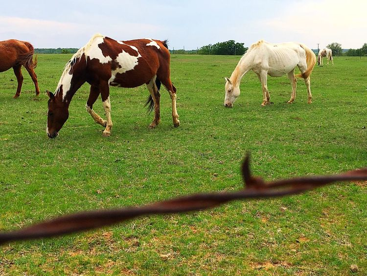 Horses Horse Photography  Countryside Backroads Barbed Wire IPhone IPhoneography Iphoneonly Grass Livestock Domestic Animals Mammal Field Animal Themes Grazing Nature Horse Pasture Landscape Rural Scene Outdoors Agriculture No People Beauty In Nature Day
