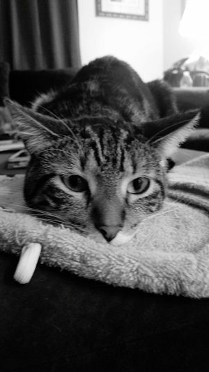 Relaxing Trinket Bored >.< Cat Looking For Trouble Love This Cat Tiger Cat Tabby Cat
