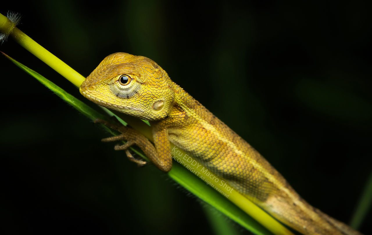 animal wildlife, animal themes, animal, animals in the wild, one animal, vertebrate, reptile, lizard, close-up, no people, nature, green color, focus on foreground, plant, selective focus, branch, chameleon, animal body part, day, outdoors, animal eye, animal head, black background, animal scale