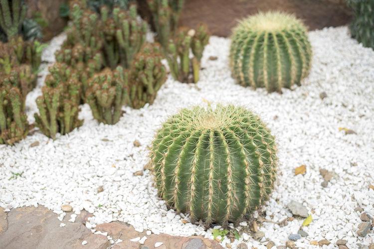 Cactus growing amidst stones in garden