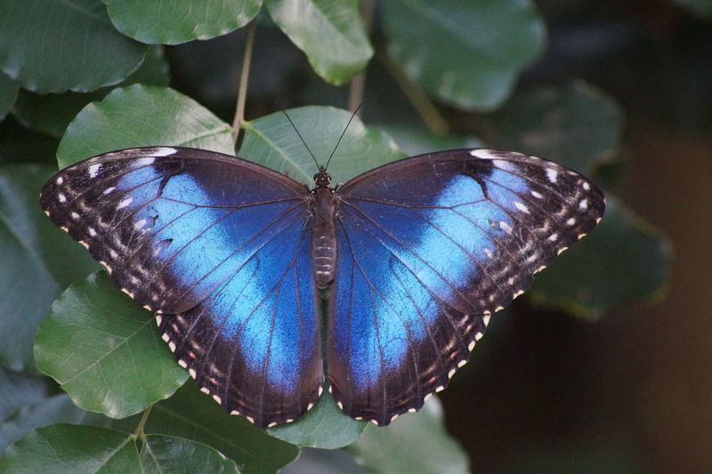 Beauty In Nature Blue Butterfly - Insect Leaf Nature One Animal Plant Wildlife