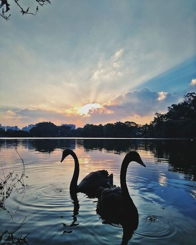 Reflection Water Lake Sunset Swimming Cloud - Sky Sky Tranquility Nature Animal Wildlife Bird No People Flamingo Beauty In Nature Animals In The Wild Ibirapuera Ibirapuerapark Saopaulo_originals Saopaulocity Saopaulowalk Sampalovers SAMPAcity Saopaulopormeucelular Outdoors Scenics