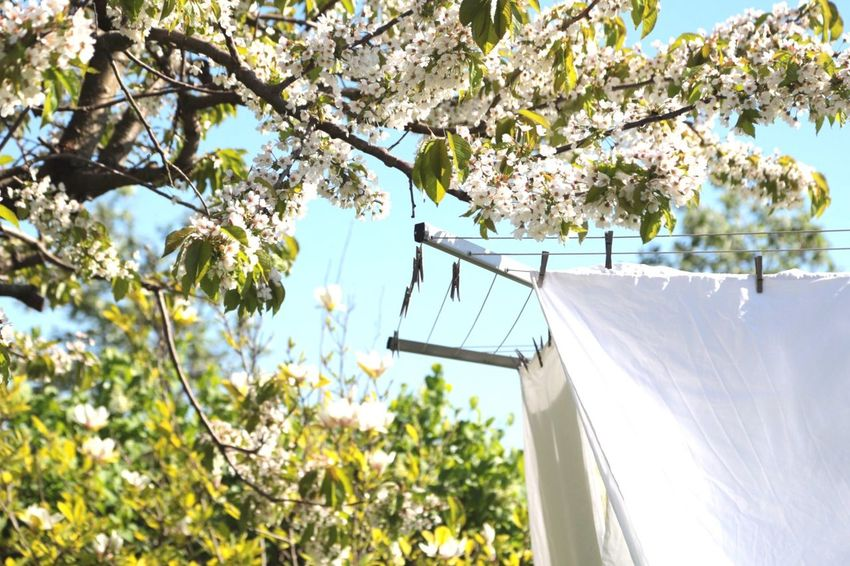 Clothespins Clothespin Clothing Line Drying Rack Drying Clothes Freshness Fresh Fresh And Clean Fresh Scent Fresh Flowers Laundry Laundry Day White Color White Album WhiteCollection White Flowers White Blossoming Tree Blossom Tree White Sheets Sheet Linnen Cleaning Copyspace Detergent
