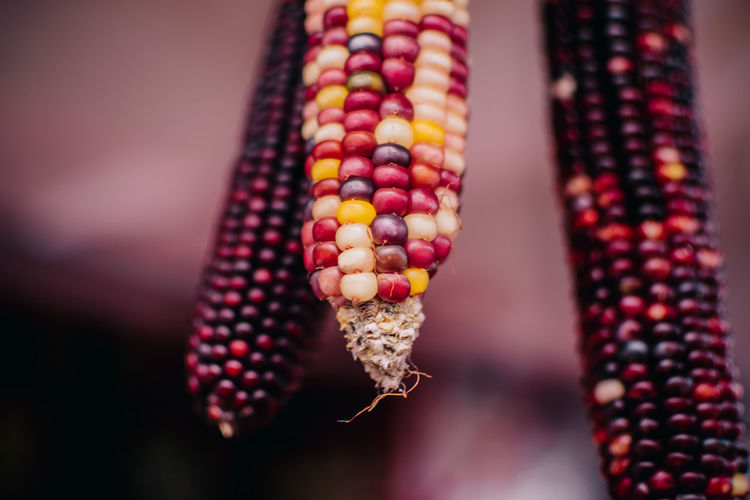 Close-up of multi colored corn hanging