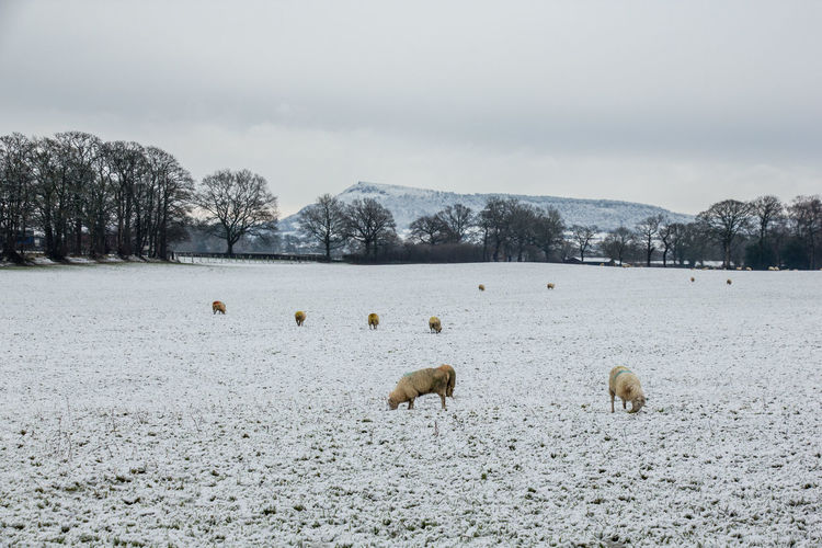 Flock of sheep on snow covered land