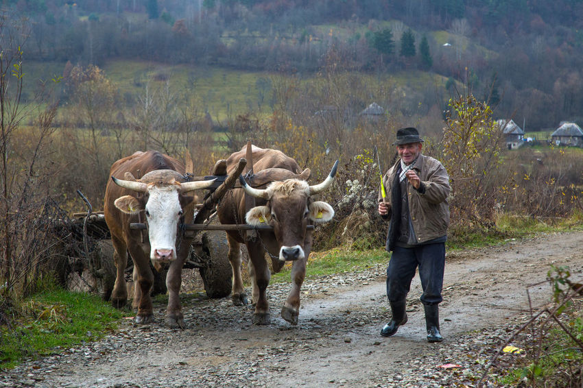 Maramures Adult Agriculture Cattle Cow Day Domestic Animals Livestock Mammal Men Nature One Person Outdoors Oxen People Standing