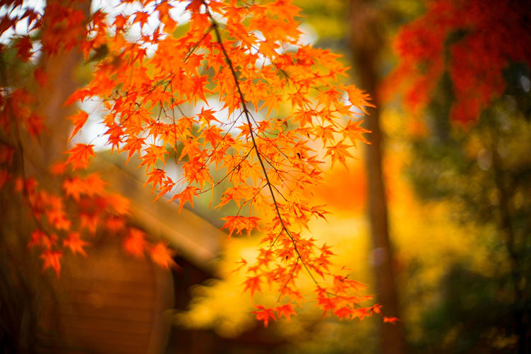 Close-up of maple leaves on tree during sunset