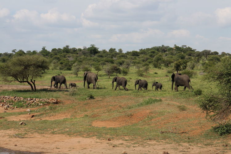 Elephants walking on field at kruger national park