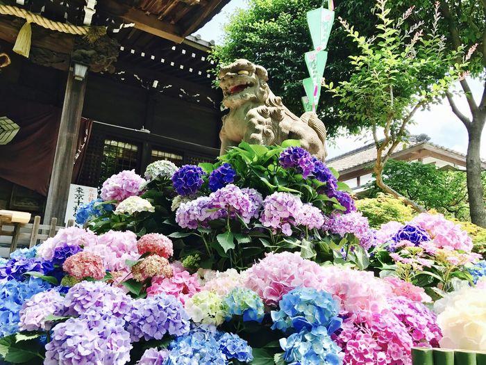 日本白山神社-繡球花 繡球花