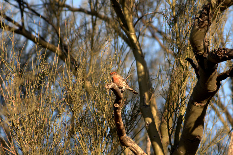 Little house finch in a great big world. Animal Animal Themes Animals In The Wild Bird Branch Change Close-up Day Focus On Foreground Full Length Growing Growth House Finch No People One Animal Outdoors Perching Rough Sparrow Wildlife Zoology