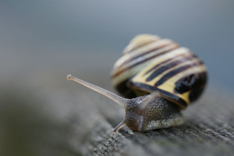 Brown-lipped snail on a fence Animal Portrait Animal Themes Animal Wildlife Animals In The Wild Backlight Brown-lipped Snail Close-up Creeping Day Evening Light Fence Gastropod Grove Snail Nature No People One Animal Outdoors Searching Selective Focus Slimy Snail Would