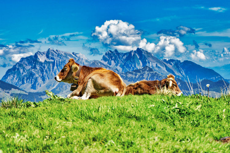 Sheep relaxing in a field