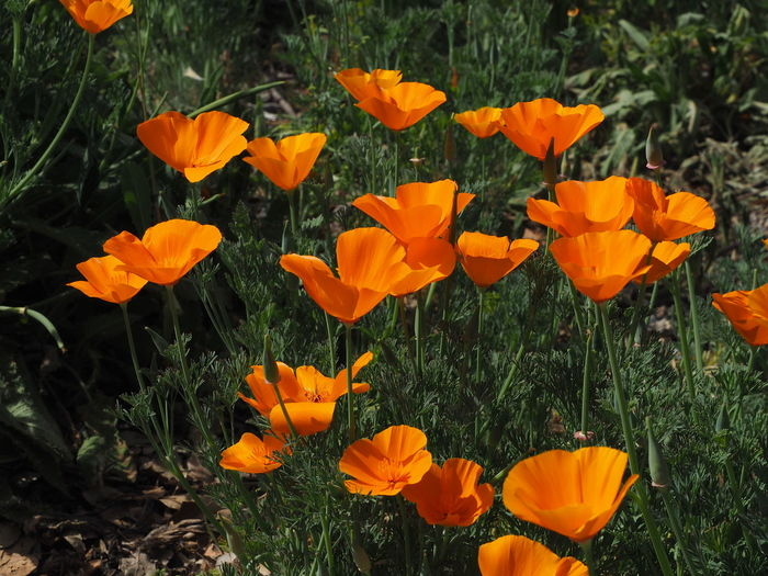 Close-up of orange poppy flowers blooming on field
