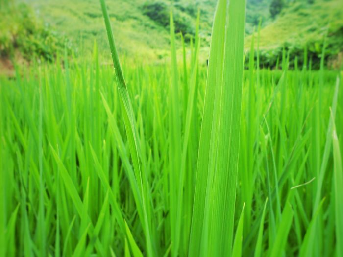 Green rice Growth Green Color Field Nature No People Beauty In Nature Laos Reflection Tranquility Agriculture Rice Field ASIA Huaphan Sam Neua