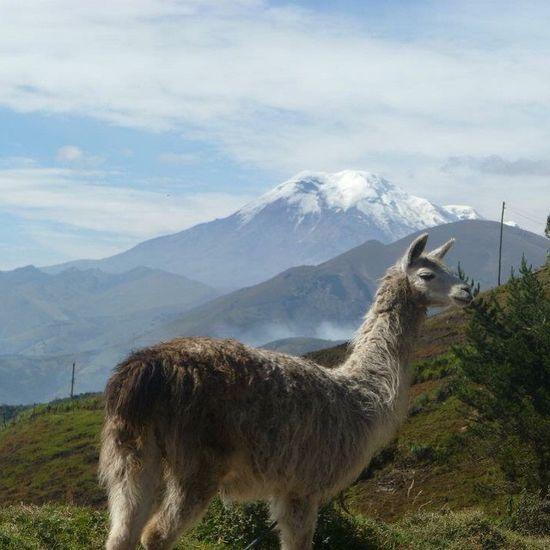 memories from Ecuador Ecuador♥ Llamas